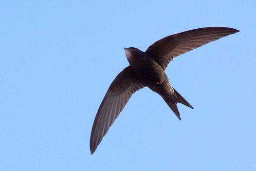 oiseaux definition