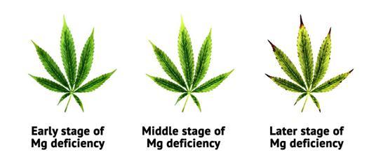plante riche en magnesium