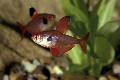 tetra poisson aquarium